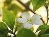 Murraya macro 6731 (quadrapop) Tags: flora flower white murraya macro squareaday