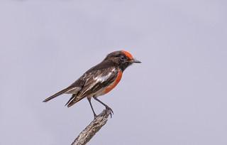 lagoon creek - ♂ red-capped robin