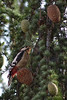 Pic Epeiche (jackyisback) Tags: pic epeiche oiseau pomme pin bird woodpecker