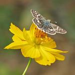 Checkered skipper on wild yellow thumbnail