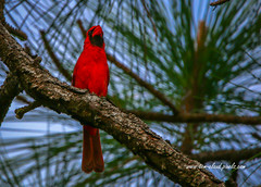 Perched Cardinal (tclaud2002) Tags: cardinal bird red perch perched tree pine pinetree northjupiter flatwoods naturalarea wildlife nature jupiter florida