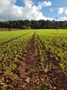 Growing Again 312/365 (rmrayner) Tags: germinatingwheat sown fields drilled farm farming agriculture telegraphpole sky 312365 365project 365the2017edition ratseyeview