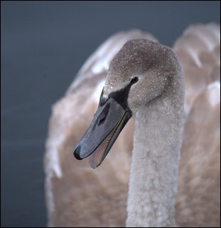 Cygnet with waterdrops