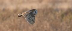 Barn Owl (hoppedscott) Tags: owl barnowl nature bird birding outdoors delta tytoalba