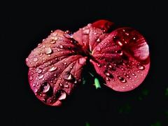 """Geranium Love"" (seanwalsh4) Tags: flora nature seanwalsh geranium dropplets water wet 7dwf wednesdaymacroorcloseup redgeranium"