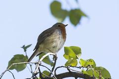 En la rama (seguicollar) Tags: pájaro ave petirrojo robin jardínbotánicomadrid rama hojas leaves leaf perching