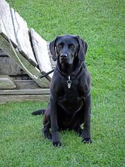 Dog at Stokesay Castle -- photo 2 (Dunnock_D) Tags: uk unitedkingdom britain england shropshire stokesay castle lawn green grass dog lead leash sitting weimrador weimarador