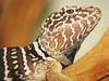 Crotaphytus vestigium Männchen / male (R.S. aus W.) Tags: tier lebewesen animal animali wesen geschöpf kreatur natur nature fauna photography photo photos foto bild bilder perfect amateur awesome beauty beautiful best color europa europe faszination kamera camera reptilien reptiles herping herpetologie herpetology reptil echse iguana lagarto leguan lucertola lacerta lizard halsbandleguan halsband collared crotaphytus