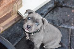 Kyra (Shaun Mint) Tags: kyra bluestaffie staffordshirebullterrier puppy staffie blue grey nikon nikoneurope 30mm sigma f14 portrait cute sigmaex lightroom lightroompresets flickr