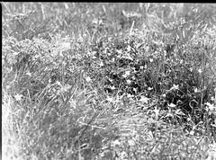 img362 (wolffriend333) Tags: mamiya6451000s 120 rollfilm blackandwhite ilfotecddx homedeveloped roanmountainstatepark roundbald appalachiantrail northcarolina flowers aristaedu