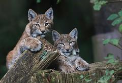LIEBLINGE/DARLINGS (babsbaron) Tags: nature tiere animals katzen cats raubkatzen luchs wildpark lüneburg lüneburgerheide lynx young jung