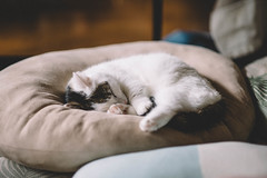 DSC_9169 (Nazra Z.) Tags: 2017 cushion sleeping natural light vscofilm cat munchkin male tabby home okayama japan raw