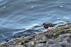 Turnstone (Daggormet) Tags: bird animal wild wildlife nature nikon nikond5200 penarth river riverlife