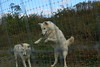 IMG_1316 (goaniwhere) Tags: wolf animal wolves wildanimal sanctuary