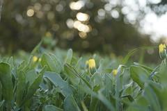 Non dimenticate che la terra si diletta a sentire i vostri piedi nudi e i venti desiderano intensamente giocare con i vostri capelli.  (Kahlil Gibran) (lo zen) Tags: fiori gialli verde prato autunno poesia macro
