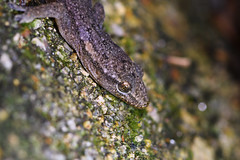 "Bowring's Gecko • <a style=""font-size:0.8em;"" href=""http://www.flickr.com/photos/101409655@N07/38380051666/"" target=""_blank"">View on Flickr</a>"