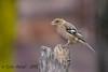 xxD40_1187 (Eyas Awad) Tags: eyasawad nikond4 sigma500f45 nikond800 nikonafs300mmf4 bird birds birdwatching wildlife nature fringuello fringillacoelebs