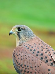 Portrait of a Kestrel (seanwalsh4) Tags: portraitofakestrel nature raptor canon 7dwf wednesdaysmacroorcloseup closeup fauna hawk nohasarkzoo flyingdisplay