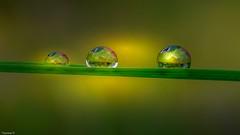 Drops Trio 4071 (YᗩSᗰIᘉᗴ HᗴᘉS +12 000 000 thx❀) Tags: water hensyasmine yasminehens eau perle h2o drop droplet goutte trio trois three