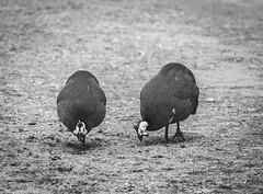 Guinea Fowl (Sami Ouberdous) Tags: bird birds guineafowl wildlife wlid wliderness nature