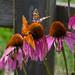 In the Brazos Bend Butterfly Garden
