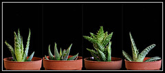 2017 Sydney collage: Succulents (dominotic) Tags: 2017 plant succulents succulentplants green blackbackground collage sydney australia
