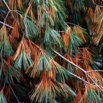 "Cincinnati – Spring Grove Cemetery & Arboretum ""Pine Needles In Transition"" thumbnail"