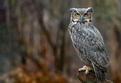 The Great Horned Owl (rmikulec) Tags: bubo virginianus bubovirginianus great hroned owl greathornedowl raptor birdofprey nature naturephoto natureportrait bird animal ontario raptorsinfocus