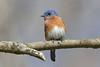 Eastern Bluebird (Alan Gutsell) Tags: eastern bluebird easternbluebird songbird backyard bird wildlife texasbirds texas houston bearcreekpark alan wildlifephoto nature