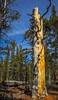Lovely Snag (phoca2004) Tags: d90 forest lembertdometrail nikon snag tree tuolumnecounty tuolumnemeadows yosemitenationalpark sky california unitedstates us wood