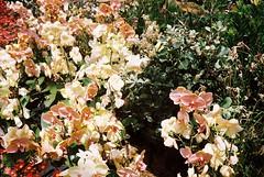 (meilne) Tags: 35mm 35 analog film analogue analoguephotography analogphotography filmphotography canonet canon canonetql17 nature flowers sydney australia kodak kodakcolorplus colournegative kodakcolorplus200 200iso