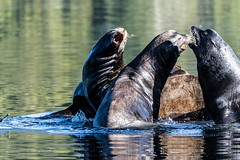 The Battle (Chatham Sound) Tags: ucluelet california sea lions zalophus californianus vancouverisland britishcolumbia canada pacific pacificcoast pacificocean nikon nikond5 tamron150600mmf5663divcusd fauna