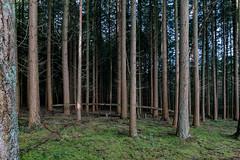 Dwarsligger (doevos) Tags: bomen bos ugchelsebos veluwe woud