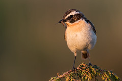 Whinchat Saxicola rubetra (janmangorfagerland) Tags: animal birds bird birdphoto birdsgallery bokeh birding birdsofnorway buskskvett colours coast colorful d800e dephtoffield distinguishedbirds 300mmvrii28g exposure evening fagerland field fugler flickr fuglebilder fauna gallery green islands nikon wildlife nikkor jan janfagerland juniper mjåvatn karmøy light mangor myr marsh nature norway norge natur nikon300mmvrii28g outdoor ornithology orange photography photo portrait plant rubetra red songbird sun saxicola vr wetland white yellow insect food june magicallights grass