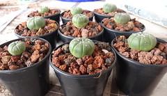 Astrophytum asterias (armen.cactus) Tags: cactus succulent seedlings astrophytum asterias