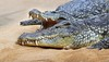 Chilling together (babsbaron) Tags: nature tiere animals raubtier predator krokodil nilkrokodil crocodile jäger hunter zoo köln