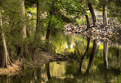 Cotter Reflections (Rod Burgess) Tags: act canberra cotter ruralareas river canon60d canon100400f4556lisii reflection reflections trees duck australiareflectionsawardwinner