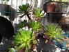 purplecrestaeonium (cuttykitty) Tags: purplecrestaeonium 黒法師 aeoniumarboreum