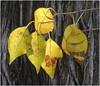 autumn mood (3) (kurtwolf303) Tags: leaves blätter autumn fall herbst tree baum makro yellow gelb nikoncoolpixs9900 compactcamera unlimitedphotos natur nature topf25 250v10f topf50 500v20f topf75 topf100