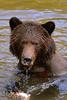 Look (Spectacle Photography) Tags: grizzly grizzlybear grizzlybears grizzlies ursusarctos river salmonrun salmon wildlife wildlifewatching atnarko bellacoola tweedsmuir provincialpark britishcolumbia canada westerncanada