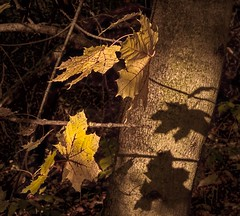 Autumn Shadow Play (Wes Iversen) Tags: clichesaturday grandblanc grandblanccommons hcs michigan nikkor24120mm autumn fall forests golden leaves nature shadows trees woods