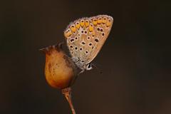 Polyommates icarus (14) (JoseDelgar) Tags: insecto mariposa polyommatesicarus 425866368732977 josedelgar coth coth5 naturethroughthelens sunrays5 alittlebeauty ngc npc