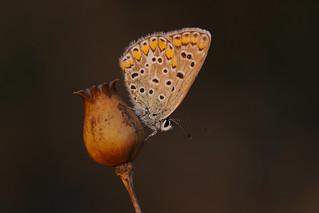 Polyommates icarus (14)