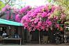 Bougainvillea! (Peter Denton) Tags: ©peterdenton bougainvillea colour flora tree myanmar burma minnanthu rural quiet southeastasia village canoneos100d street villagelife