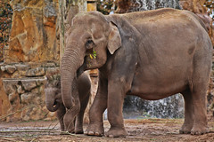 IMG_0791 (jaybluejeans94) Tags: chester zoo elephant elephants wild nature animal animals chesterzoo