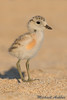 New Zealand Dotterel (Charadrius obscurus) (mikullashbee) Tags: newzealand dotterel plover shorebirdsofnewzealand waders endemic endangeredspecies aucklandbirds charadriusobscurus beaches chick babybirds cute