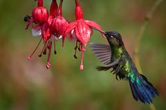 Colibri (cyril4494) Tags: colibri costa rica explored
