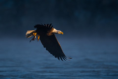 Bald Eagle (nikunj.m.patel) Tags: baldeagle nature wild wildlife birds avian nikon photography winter migration raptors birdofprey