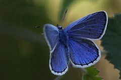 1N6A5623.Argus bleu ( UNIXetvous ) Tags: papillon butterfly insecte insect argus macro bokeh