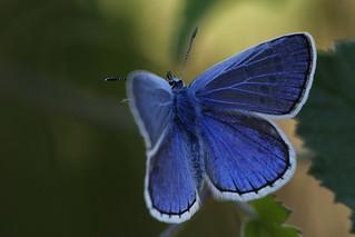 1N6A5623.Argus bleu